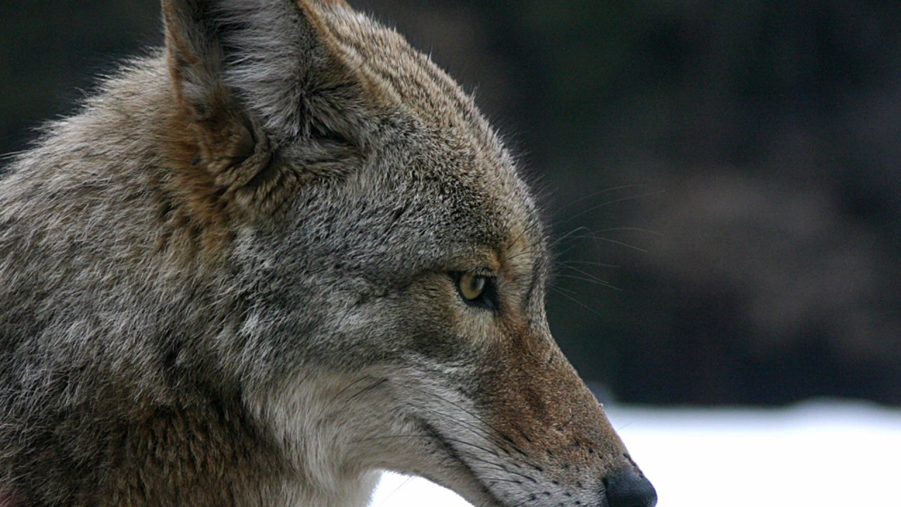 Animal Meanings In Dreams Coyote Youtube