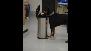 Assistance Rottweiler And Belgium Malinois Doing Amazing Service Work