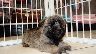 Cairn Terrier, Puppies, For, Sale, In, Columbia, South Carolina, Sc, Newberry, Forest Acres, Oak Gro