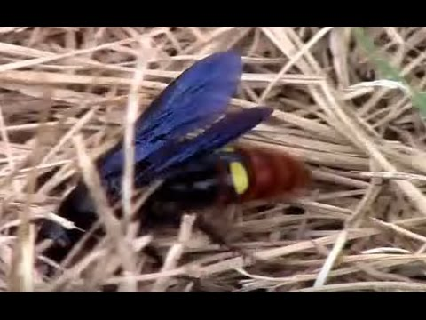 Blue-winged Wasp, Scolia dubia Hunting For Grubs.