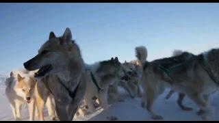 Собаки в упряжке. Собаки в снегу, интересный клип