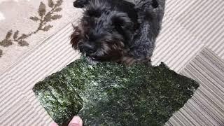 パリパリっと美味しそうに焼き海苔を食べるミニチュアシュナウザーのミ...
