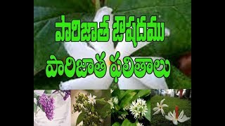 Ouishada  uses of Parijatham Tree and flowers.Importance of Parijatham Flowers In Pooja Rituals.