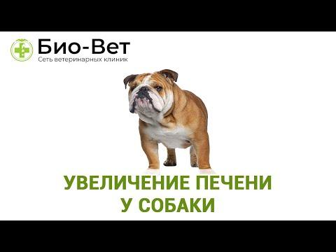 Печень у собаки болит