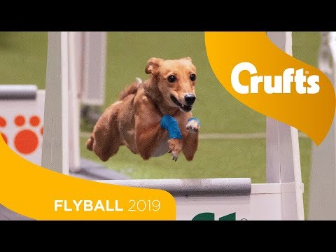 Closet Flyball Final Ever! Aces vs Focus | Crufts 2019
