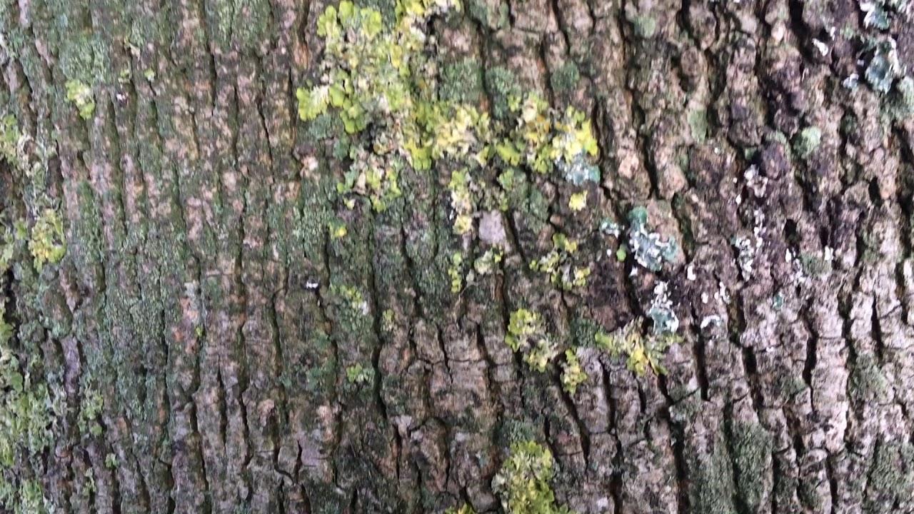 Norway Maple Acer Platanoides Bark Close Up November - Norway maple bark