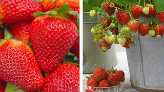 How to grow your own Strawberries: Jeff Turner on how to plant Strawberry at home
