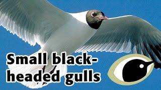 BTO Bird ID - Small black-headed gulls