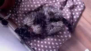 Cool Miniature Schnauzer - Stella