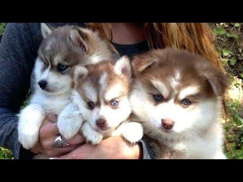 ميراث يصرف كثير جدا كلاب هاسكي صغيرة للبيع - psidiagnosticins.com