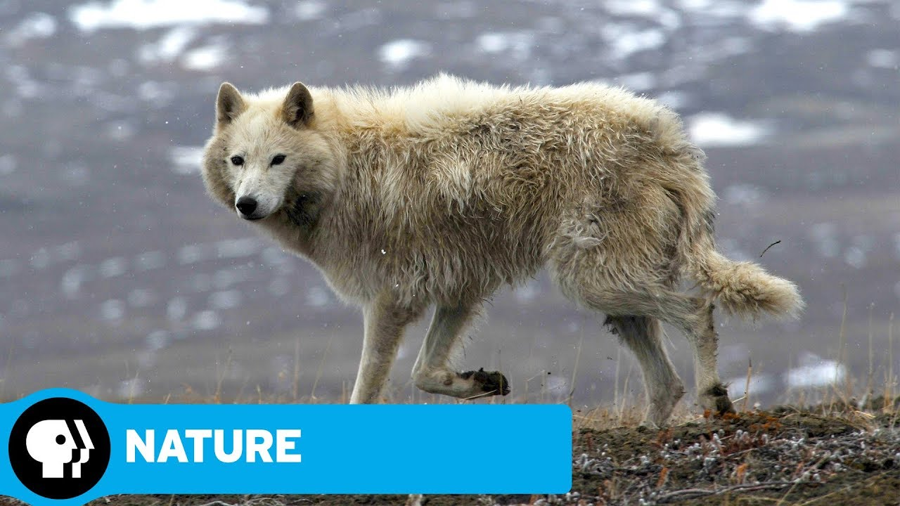 Nature arctic wolf pack official trailer pbs youtube nature arctic wolf pack official trailer pbs biocorpaavc Gallery