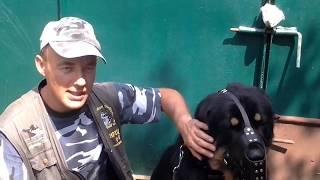 Тибетский мастиф Цезарь. Особенности подхода к взрослой собаке.