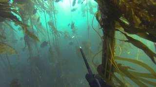 Spearfishing Mendocino 6:16 and 6:17:2013