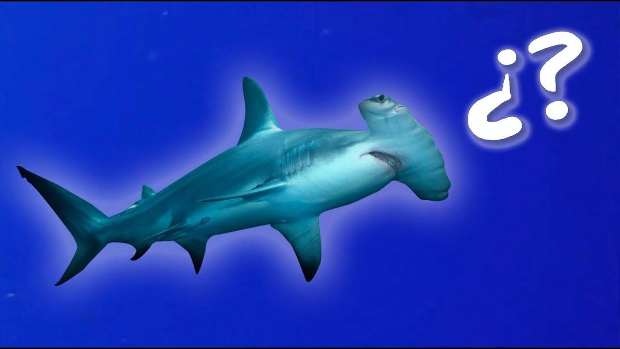 Dónde Están Los Tiburones Martillo Mar Rojo Youtube