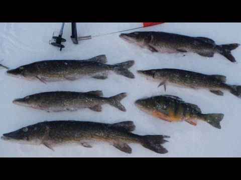 Bait fishing 68 tip up ice fishing for chain pickerel for Best ice fishing bait