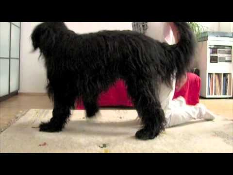 balance on two side legs dog trick- Elliot the Briard