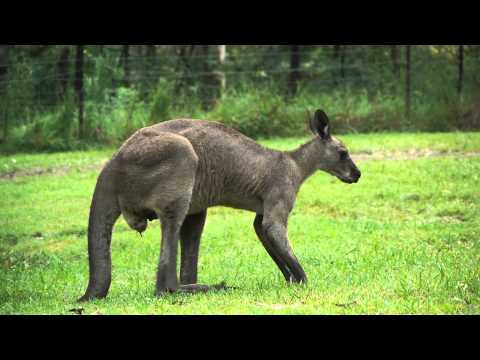Euroka Clearing Sydney - Blue Mountains National Park - Camping with Kangaroos - Travel Now