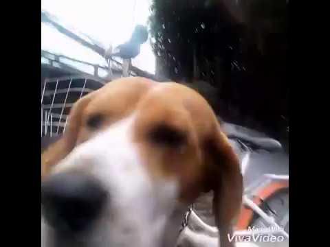 dog beagle: CHÓ SĂN THỎ / dog /beagle puppies / puppies / beagle mix ????