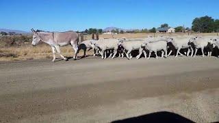 こいつはとんだ大所帯。ロバが羊の大群を引き連れて歩くブレーメンな光景