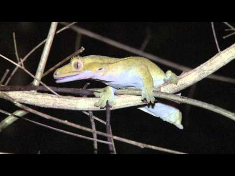 Exo Terra - The Crested Gecko Expedition