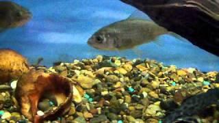 Караси в аквариуме