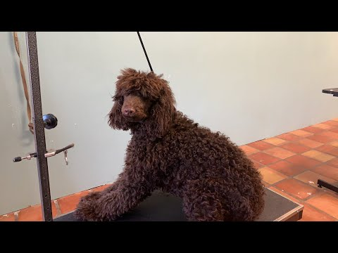 Severely matted standard poodle