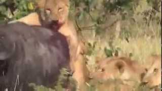Animal big lions Attack wild bufflo Animal attack Top ten10@animal