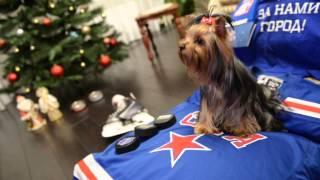 Собака смотрит хоккей!!!!! Йоркширский терьер.