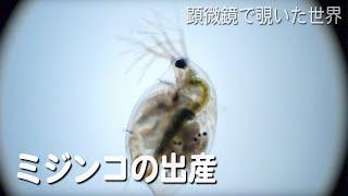 ミジンコ(Daphnia pulex)の出産