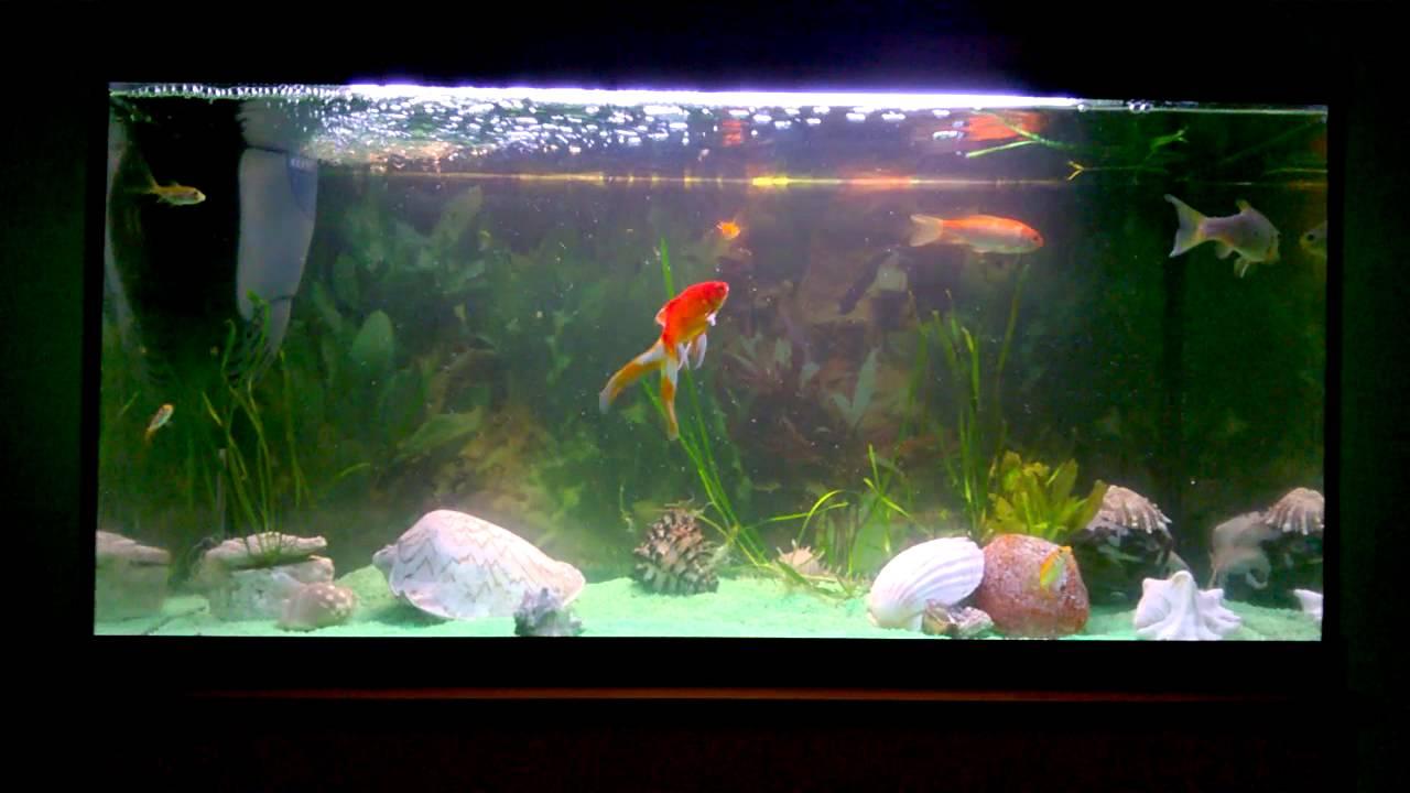 Goldfische im leicht gewachsenen aquarium youtube for Aquarium goldfische