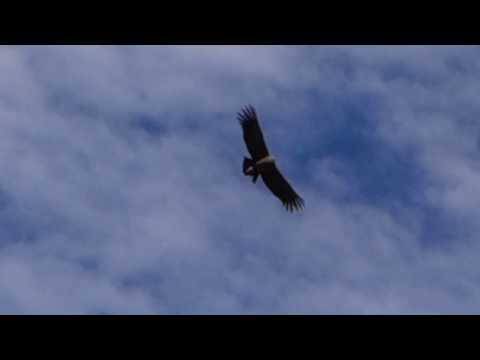 Colca Canyon - Peru - Arequipa - Largest condors of the world in the largest canyon