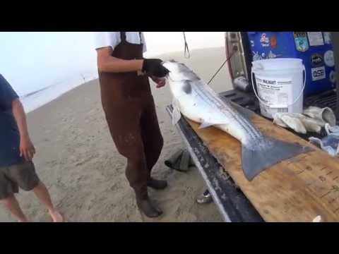 Trophy Stripers And Black Drum Surf Fishing In Virginia