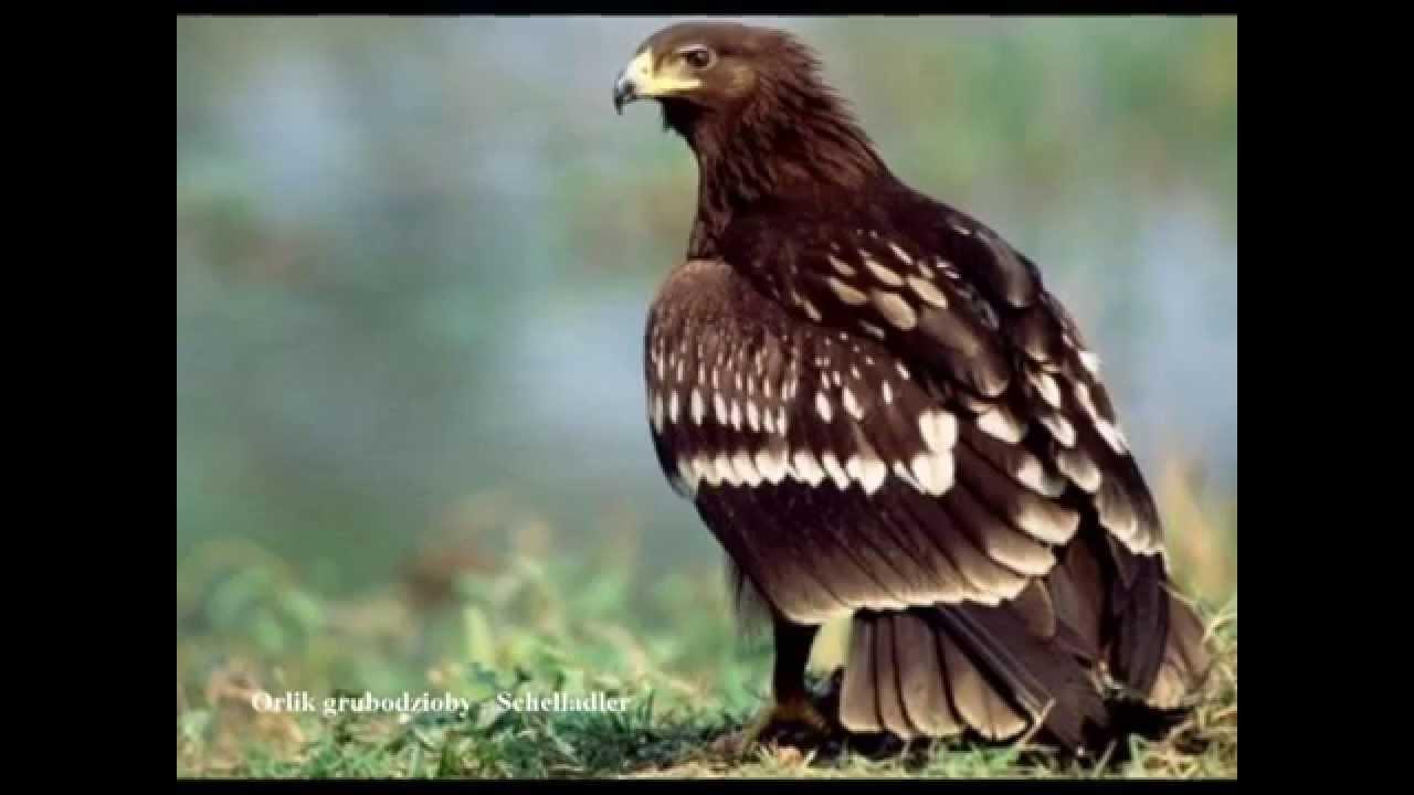 Ptaki Drapieżne Odgłosy Jastrząb Habicht Orzeł Przedni