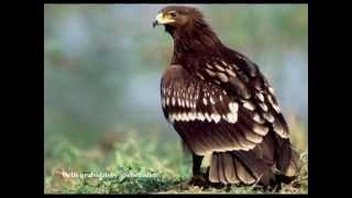 Ptaki Drapieżne - Odgłosy ; ``Jastrząb (Habicht)``, ``Orzeł przedni (Steinadler)`` i inne ...
