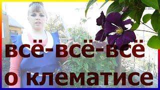 Всё-всё-всё о клематисе! Клематис посадка выращивание размножение уход. Как посадить клематис.