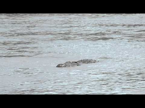 Masai Mara River Crocodile - During migration across the Mara River crocodiles wait for prey
