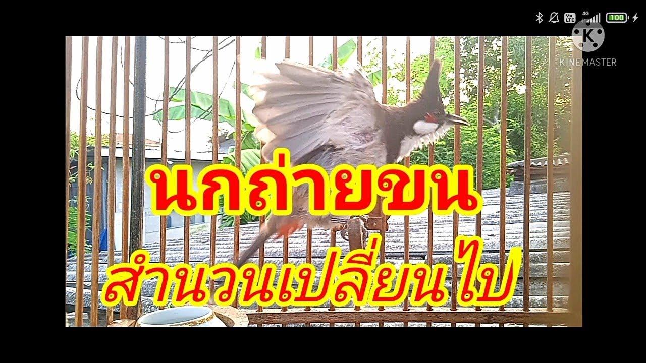 นกกรงหัวจุก 127  สำนวนเสียงร้องเปลี่ยน หลังจากคลุมผ้าถ่ายขนเดือนกว่า