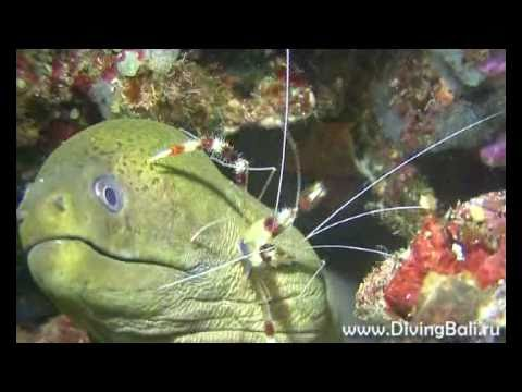 Boxer shrimp and moray at night in Komodo Indonesia
