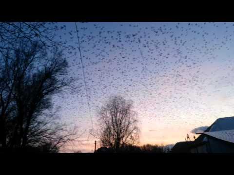 Черная туча птиц 🙆
