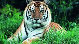 Топ 5 Фото Тигров