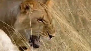 Lions vs Spitting Cobra - BBC wildlife