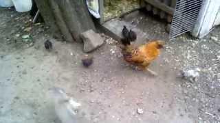 Dwie kwoki z kurczętami