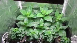 trinidad peppersauce