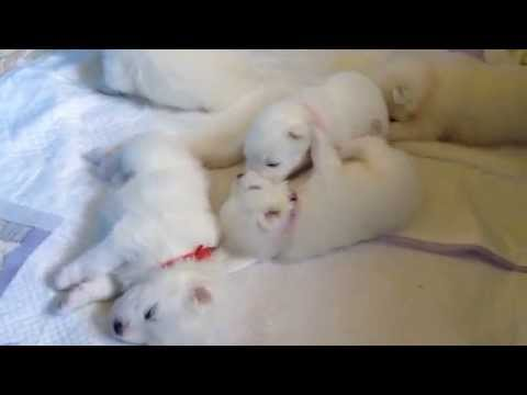 """7 Samoyeds 20 days old Babies Playing - Litter A """"THRACIAN GLORY"""" Samoyed Kennel"""