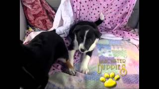 Border Collie/labrador Retriever Hybrid Puppies