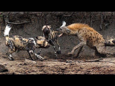 Download National Geographic: The Pack, Wild Dogs - Nat Geo Documentary HD #Advexon