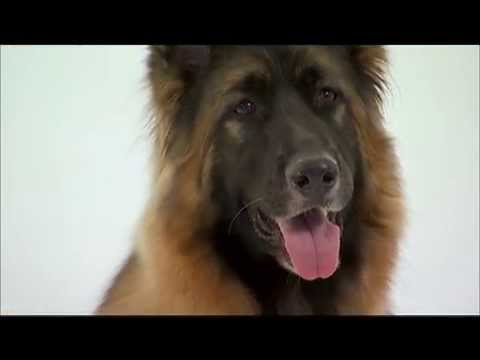 Dog Breeds - German Shepherd. Dogs 101 Animal Planet