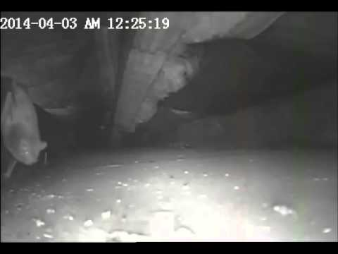 Scratching Noise in Ceiling : Bats