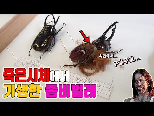 약혐)★좀비벌레 등장..★곤충키우면서 이렇게 화난적은 처음입니다. [정브르]