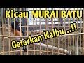 Kicau Murai Batu Getarkan Kalbu Kicau Mania Mb Pasir  Mp3 - Mp4 Download